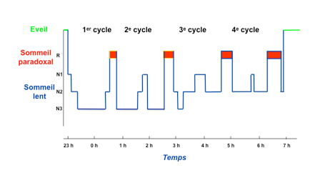 cycle sommeil 2