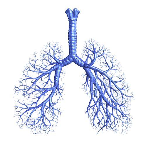 schema anatomique des bronches