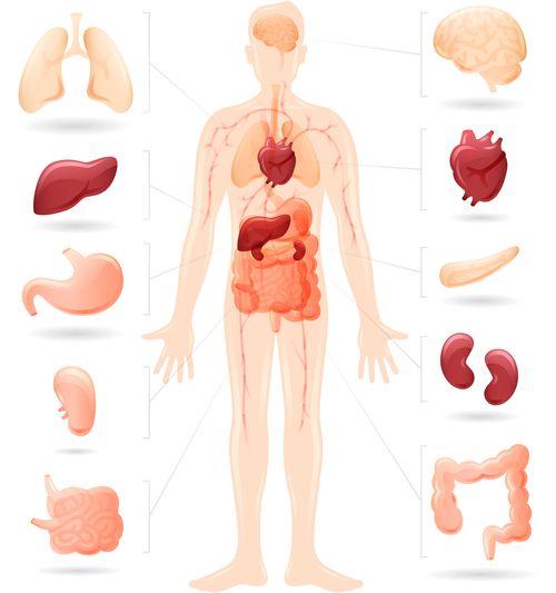 schema anatomique organes
